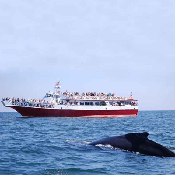 Cape May Whale Watcher boat tour seeing a whale in the ocean