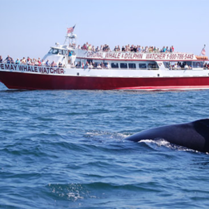 Cape may whale watcher boat filled with people looking at a whale swimming in the ocean during a around the cape island cruise